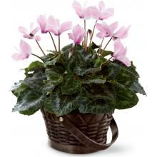 C24-4880 Cyclamen Rose™ de FTD®